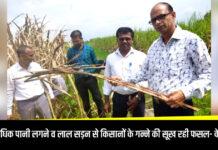 कुशीनगर: अत्यधिक पानी लगने व लाल सड़न से किसानों के गन्ने की सूख रही फसल- सुधीर कुमार, केन मैनेजर