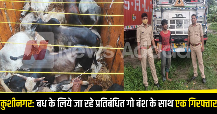 Kushinagar: One arrested with 37 banned cow bans going for slaughter